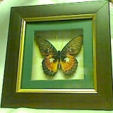 Butterfly Shadow Box  #11749