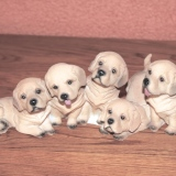 A Litter of Puppies  #2492-DOG